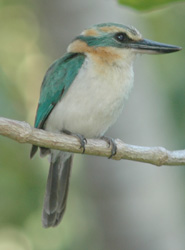 The endemic Mangaia Kingfisher, the Tanga'eo (Todramphus ruficollaris).